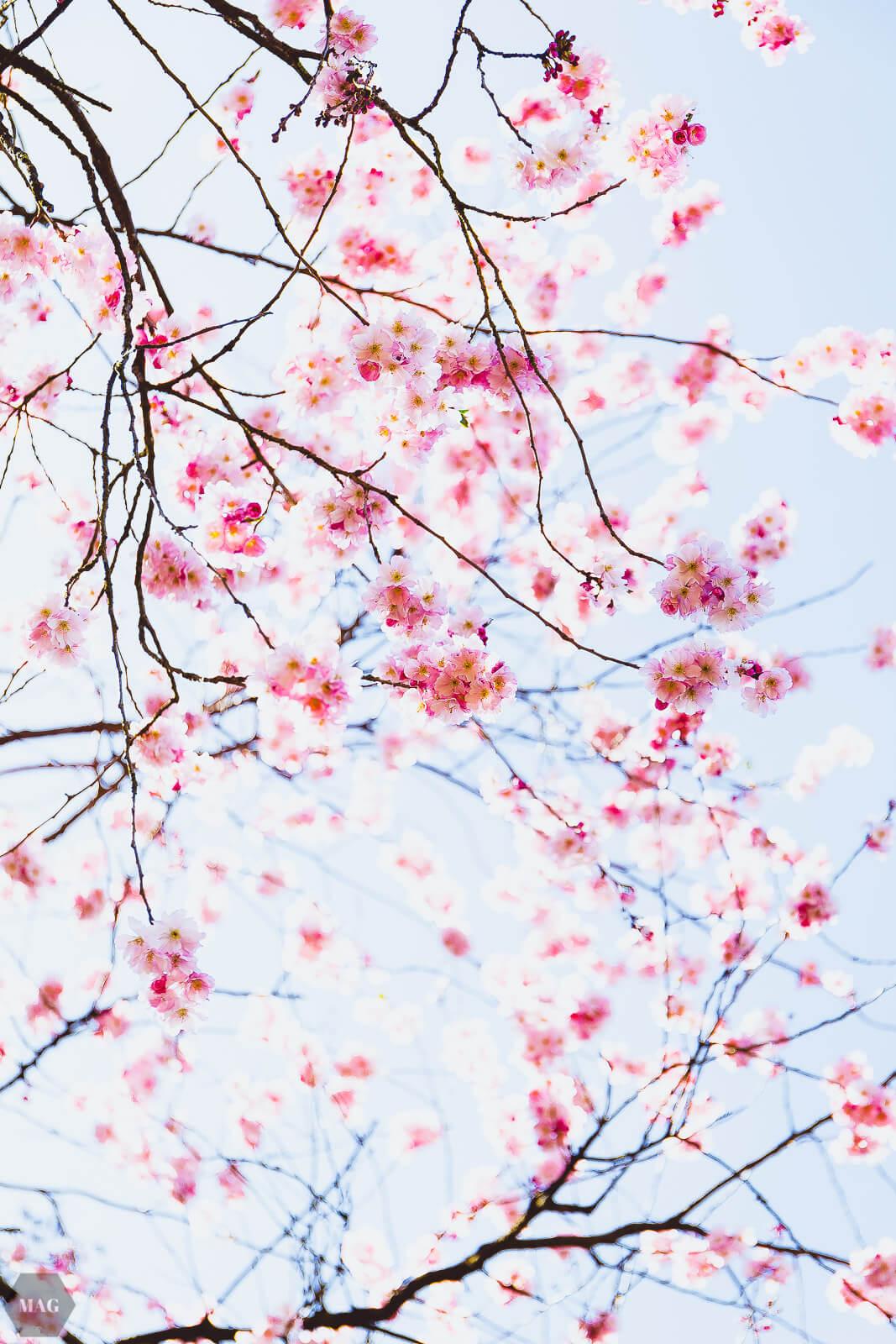 sterben, aussterben von arten, Frühling, Kirschblüten, Blumen, nachhaltig, nachhaltiger blog, Evolution und das aussterben von arten, aussterben von arten, Frühlingsgedanken, Frühlingsgefühle, Frühlingsblumen