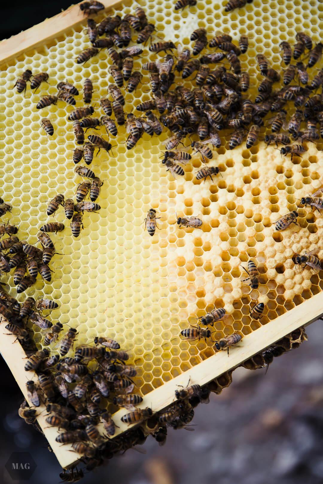 Bienen und Veganer, Bienen vegan, Honig vegan, Veganer und Honig, Honig und vegan, Honig vegan, veganer Honig, guter Honig, wesensgerecht Imkern, Honig Tierschutz, Honig Naturschutz
